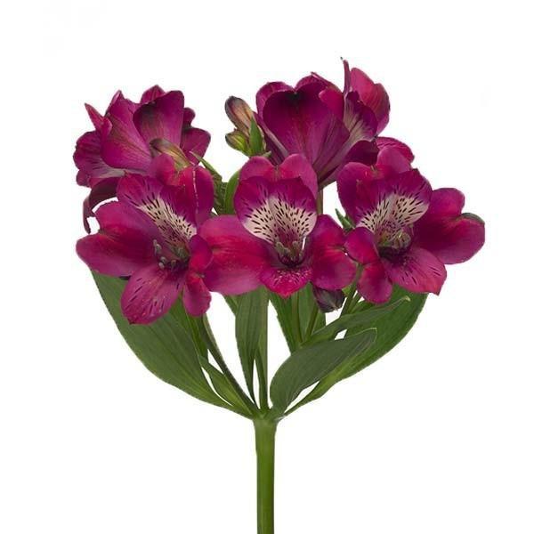 alstrom fiolet