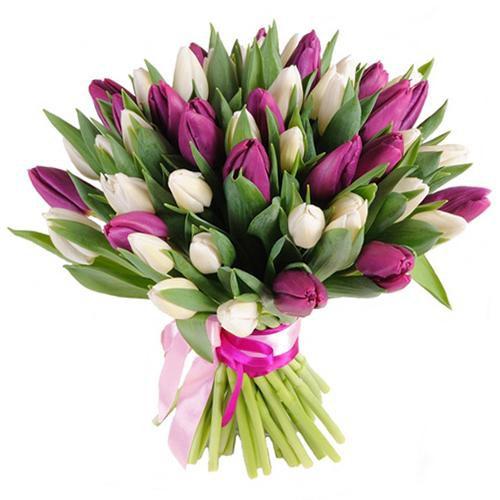 51 belo fiol tulp