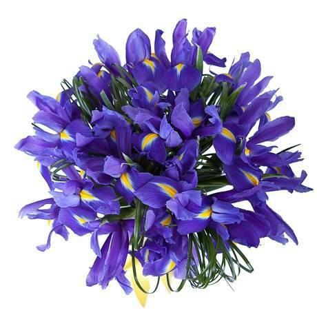 31 iris-1